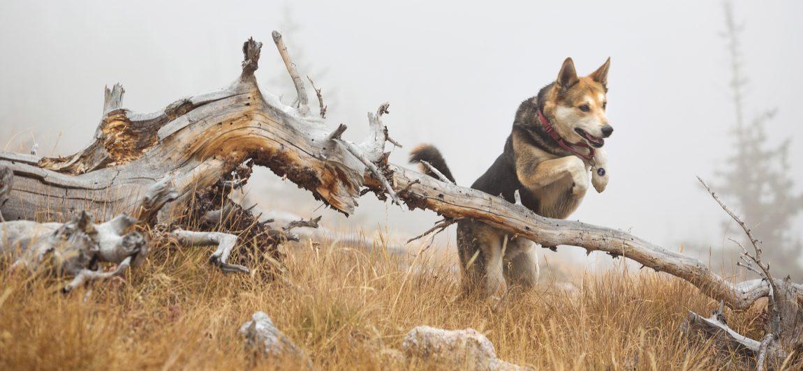 Denver Dog Rescue Adoption