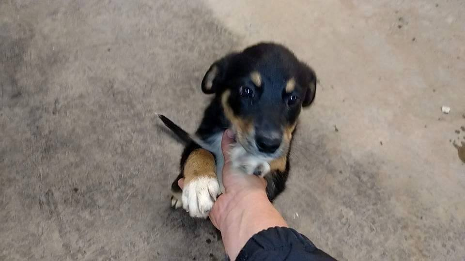 Denver Dog Rescue Blue Heeler Puppies Havoks Wolfpack