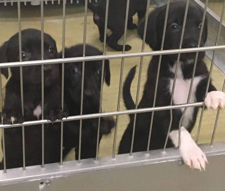 Lab-Collie Puppies